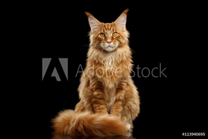 Bild på Beautiful Red Maine Coon Cat Sitting with Large Ears and Furry Tail Looking in Camera Isolated on Black Background, Front view